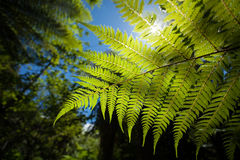New Zealand Fern. A new zealand fern in a lush forest up close Stock Photos