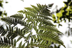 New Zealand Fern Stock Photo
