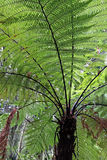 New Zealand Fern Tree Stock Image
