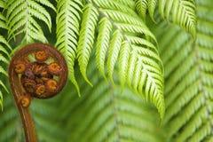 New Zealand fernkoru Arkivbild