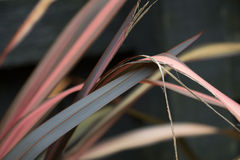 New Zealand flax. Long multicolored leaves of a New Zealand flax plant Stock Photos