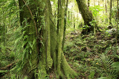 New Zealand forest Royalty Free Stock Photo