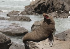New Zealand Fur Seal Stock Image