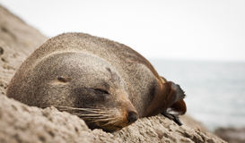 Free New Zealand Fur Seal Royalty Free Stock Image - 24537046