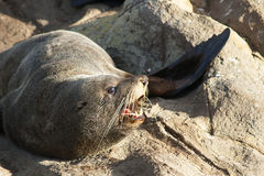 New Zealand fur seal Stock Photo