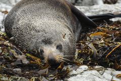 New Zealand Fur Seal Stock Photography