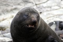 New Zealand Fur Seal Stock Images