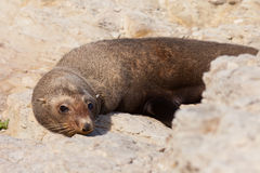 New Zealand fur seal, Arctocephalus forsteri Royalty Free Stock Photos