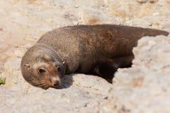 New Zealand fur seal, Arctocephalus forsteri Royalty Free Stock Photos