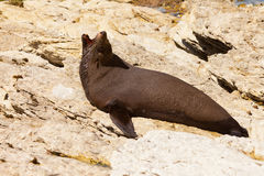 New Zealand fur seal, Arctocephalus forsteri Stock Photos