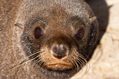 New Zealand fur seal, Arctocephalus forsteri Royalty Free Stock Photography