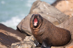 New Zealand Fur Seal (Arctocephalus forsteri). Royalty Free Stock Images