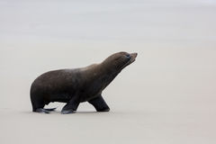 New Zealand Fur Seal (Arctocephalus forsteri) Stock Images