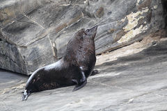 New Zealand Fur Seal (Arctocephalus forsteri) Stock Image