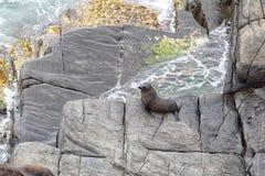 New Zealand Fur Seal (Arctocephalus forsteri)) Stock Photos