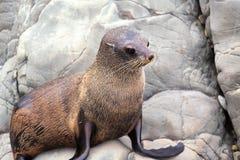New Zealand Fur Seal (Arctocephalus forsteri). Close Up. Stock Image