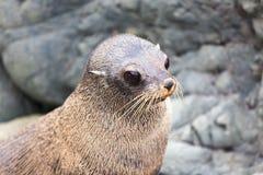 New Zealand Fur Seal (Arctocephalus forsteri). Close Up. Head Stock Photos