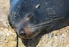Close up portrait New Zealand Fur Seal, Arctocephalus forsteri, long-nosed fur seal sleeping in the sun on the stone. New Zealand Fur Seal Arctocephalus forsteri royalty free stock image