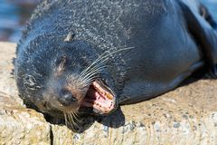 Close up portrait New Zealand Fur Seal, Arctocephalus forsteri, long-nosed fur seal sleeping in the sun on the stone. New Zealand Fur Seal Arctocephalus forsteri stock photos