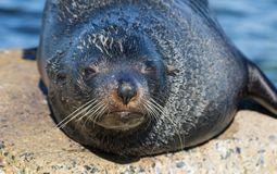 Close up portrait New Zealand Fur Seal, Arctocephalus forsteri, long-nosed fur seal sleeping in the sun on the stone. New Zealand Fur Seal Arctocephalus forsteri stock images