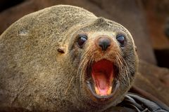 New Zealand Fur Seal - Arctocephalus Forsteri - Kekeno Lying On The Rocky Beach In The Bay In New Zealand Stock Photo