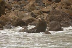 New Zealand Fur Seal - Arctocephalus forsteri - kekeno lying on the rocky beach in the bay in New Zealand.  royalty free stock photo
