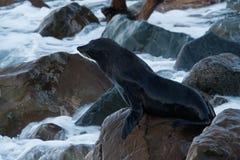 New Zealand Fur Seal - Arctocephalus forsteri - kekeno lying on the rocky beach in the bay in New Zealand.  royalty free stock photography