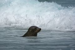 New Zealand Fur Seal - Arctocephalus forsteri - kekeno youngster baby seal swimming in the bay in New Zealand.  stock photo
