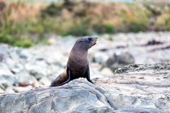 New Zealand Fur Seal (Arctocephalus forsteri) male Stock Photography