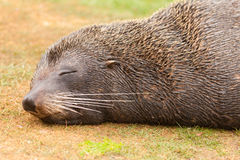 New Zealand fur seal Arctocephalus forsteri naps Stock Photos