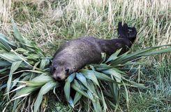 New Zealand fur seal Arctocephalus forsteri resting on flax bush. At Cape Palliser, Wairarapa, New Zealand stock photos
