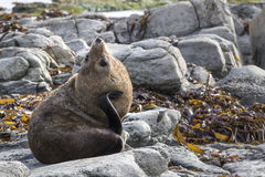 New Zealand Fur Seal (Arctocephalus forsteri) scratching it's ne Stock Images