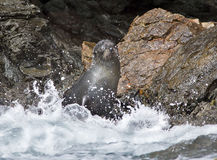 New Zealand Fur Seal Ardtocephalus forsteri Stock Photo