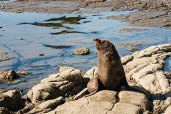 New Zealand fur seal basking on rocks Royalty Free Stock Images