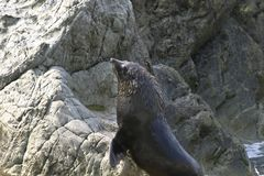 New Zealand Fur Seal Climb Up From Sea Stock Photography