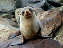 New Zealand Fur seal.FZ200 Stock Images