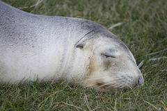 New Zealand fur seal on grass Royalty Free Stock Photos