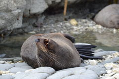 New Zealand Fur Seal in Kaikoura. This New Zealand Fur Seal, had a small yet satisfying stretch before settling back down to sleep Stock Photos