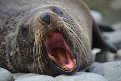 New Zealand Fur Seal in Kaikoura Royalty Free Stock Images