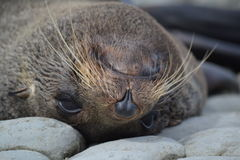 New Zealand Fur Seal in Kaikoura. New Zealand Fur Seals like to relax and sleep in the most unusual positions. Like this one relaxing upside down Royalty Free Stock Photos