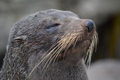 New Zealand Fur Seal in Kaikoura. This New Zealand Fur Seal was eyeing the observing tourists with a hint of suspicion Royalty Free Stock Photos