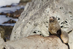New Zealand fur seal Kekeno in Kaikoura Stock Photos