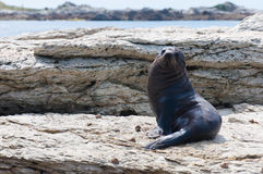 New Zealand Fur Seal (kekeno) on rocks at Kaikoura Seal Colony, Stock Photos