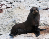 New Zealand Fur Seal (kekeno) on rocks at Kaikoura Seal Colony Royalty Free Stock Images