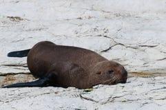 New Zealand Fur Seal (kekeno) on rocks at Kaikoura Seal Colony, Stock Photo
