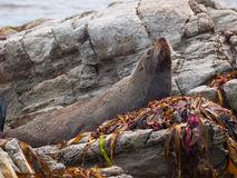 New zealand fur seal lying on a rock. Young new zealand fur seal lying on a rock Stock Image