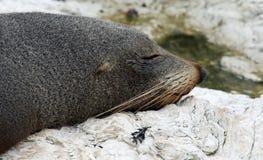 New Zealand Fur Seal near Kaikoura (New Zealand). Close-up of a New Zealand Fur Seal near Kaikoura (New Zealand stock photos