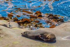 Free New Zealand Fur Seal Or Kekeno At Coast, Sunbathing On A Rock Royalty Free Stock Photos - 71344398