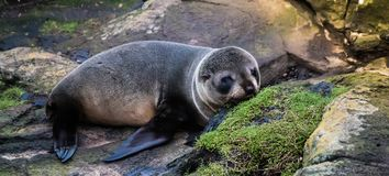 New Zealand fur seal Pup. New Zealand fur seal, Antipodean fur seal, or long-nosed fur seal, is a species of fur seal found mainly around the South Island Stock Photo