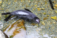 New Zealand Fur Seal Pup swimming in clear water Stock Image